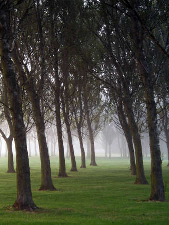 regimented: A copse of trees on a foggy morning Stock Photo