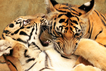 going for it: Tiger Cubs Fighting
