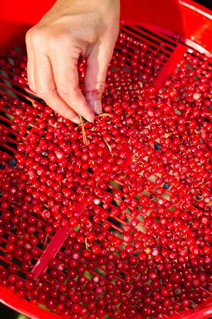 benzoic: Female hand cleaning up lingonberries