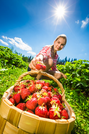 Girl picking fresh strawberries in strawberry field