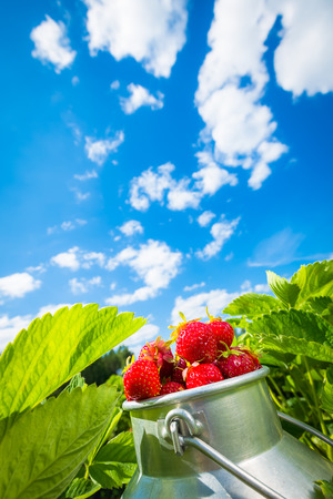 red sky: Fresh strawberries in the bowl in middle of strawberry field