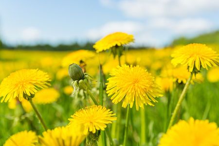 Close up of blooming yellow dandelion flowers (Taraxacum officinale) in meadow on spring time. Used as a medical herb and food ingredient.