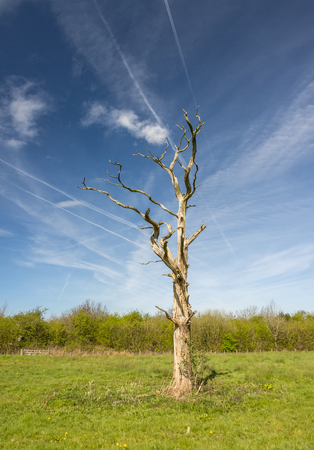 diseased: A dead tree standing alone in a field with multiple jet trails overhead