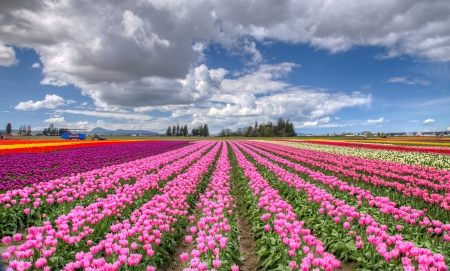 Colorful Skagit Valley Tulip festival in Washington