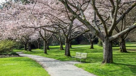Cheryy Blossoms at the Park 版權商用圖片 - 25302852