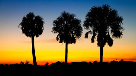 three palm trees: Three Palm trees at sunset