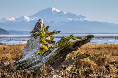 mount baker: Snowy owl at Boundary Bay with Mount Baker in the background