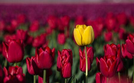 Yellow tulip in a field of red tulips 版權商用圖片 - 27734041
