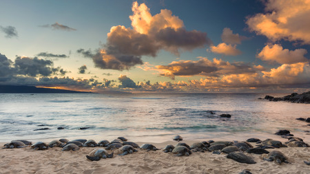 Green Sea Turtles sleeping on Hookipa Beach at Sunset 版權商用圖片 - 106363987