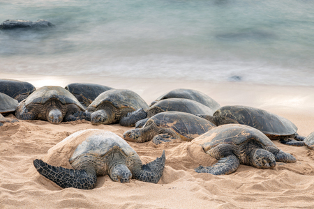 Green sea turtles having a restful sleep on Hookipa beach serenaded by the lullaby of the sea.