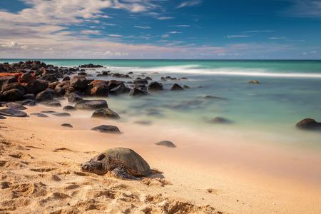 Hawaiian Green sea turtles sleeping on Baby beach on the North Shore of Maui, Hawaii. 版權商用圖片
