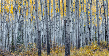 Forest of aspen trees in Autumn in Jasper National Park, Alberta, Canada 版權商用圖片 - 104951970