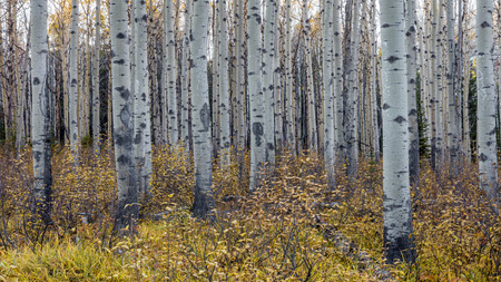 Aspen Trees in Autumn 版權商用圖片 - 104951968