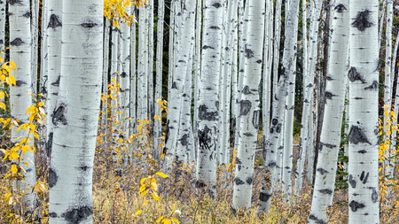 Forest of Aspen trees in jasper national park, alberta, canada. taken with the canon 5dsr camera 版權商用圖片