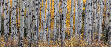 Aspen trees in autumn in the wilderness of Jasper National Park, Canada