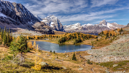 Golden Larch trees in Autumn at the Opabin Plateau in the backcountry of Lake OHara, Yoho National Park, BC. 版權商用圖片