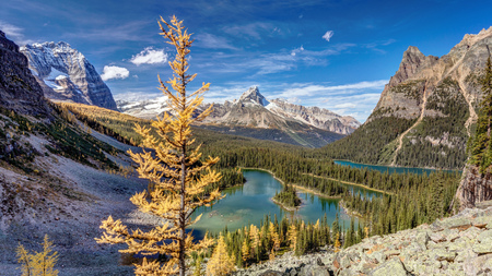 Golden larch trees in Autumn at Lake OHara in Yoho National Park, British Columbia, Canada.