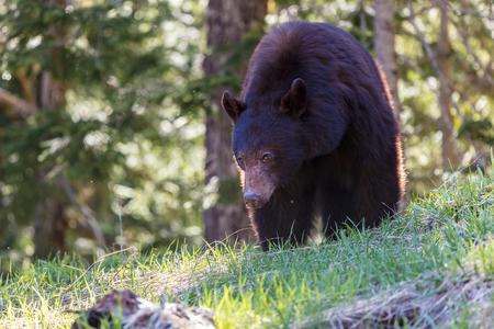 Black Bear in the Wilderness of British Columbia Фото со стока
