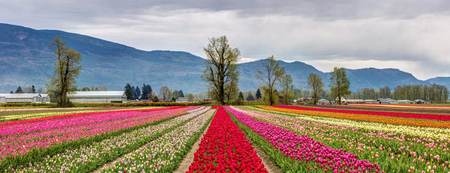 Panoramic view of colourful fields of Tulips in Chilliwack, BC for the tulips of the valley festival