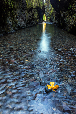 A maple leaf hanging on to a rock in the flowing water of Oneonta gorge, Oregon