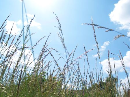fever plant: Greasses wave in the breeze against a blue sky      Stock Photo