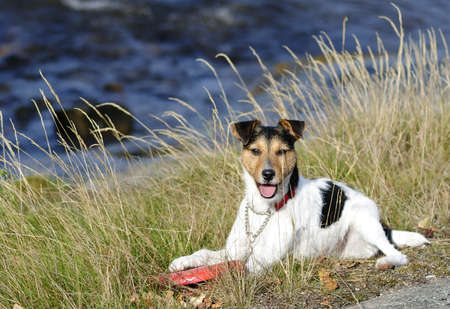 frisbee: Jack Russel with frisbee