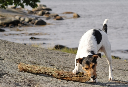 Jack Russel play with wood stick