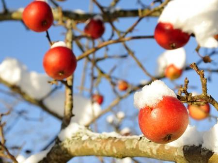 Winter appels boom Stockfoto