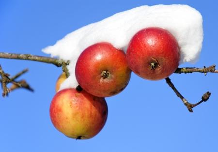 Drie appels bedekt met sneeuw