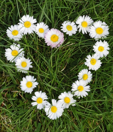 Daisy heart  Banque d'images