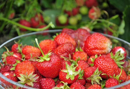 Juicy strawberry fruit in Swedish garden  photo