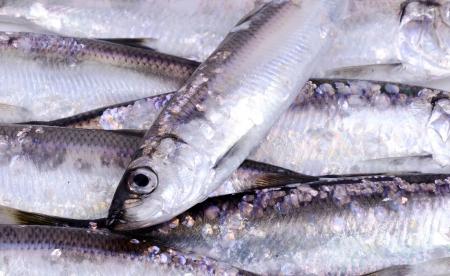 Herring fish background