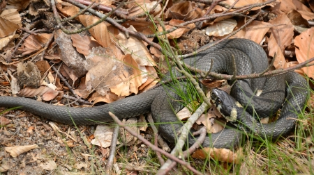 grass snake: Closeup for grass snake in spring forest
