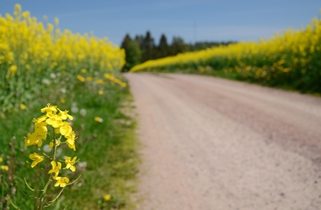 sweden: Closeup for rapeseed flower on Swedish field  Stock Photo