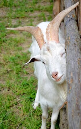 Goat scratch oneself against wooden fence