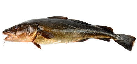 Single brown cod isolated on white background  photo