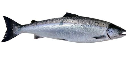 Baltic wild salmon isolated on white background  photo