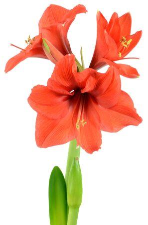 Symbolische amaryllis kerst bloem op een witte achtergrond Stockfoto