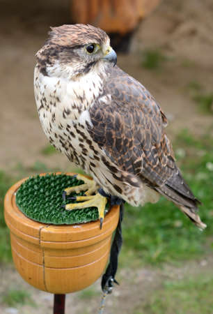 Falcon in tethered  Stock Photo - 16935133