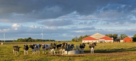 Cows on a Swedish farm  photo
