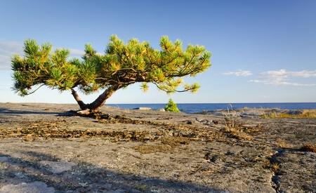 Onvolgroeide pijnbomen op een rotsachtige kust