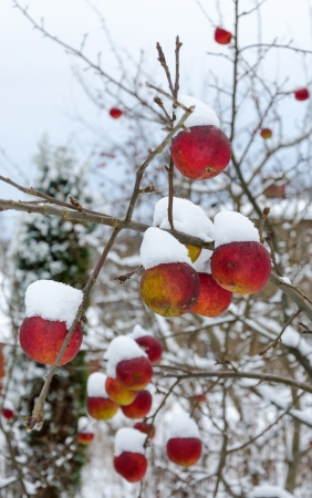 Apple branch covered by fresh snow  photo