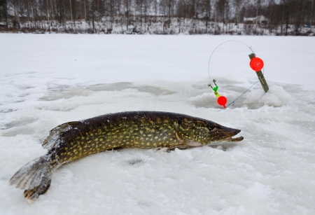 Freshly caught pike in winter season