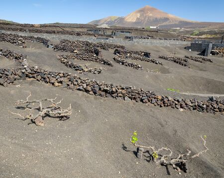 Lanzarote vineyards in volcano scenery photo