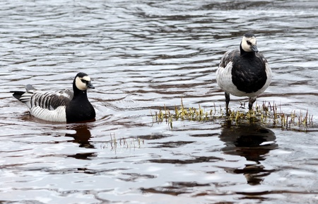 canadian geese: Pair of Canadian geese