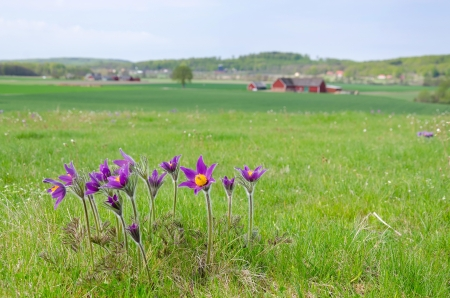 Pasque flowers on Swedish spring meadow photo