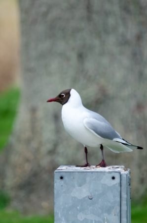 European black-headed seagull on a metal box photo