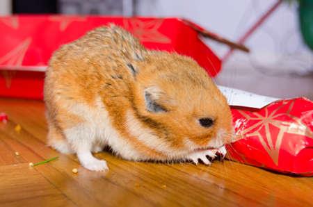 Hamster with his Christmas present Stock Photo