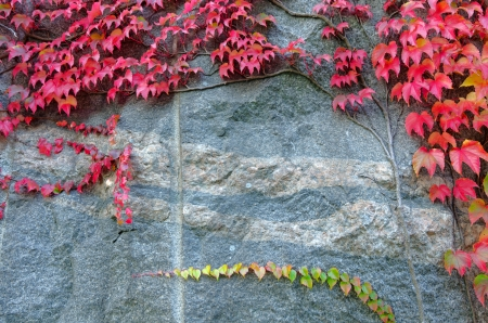 Red ivy leaves on a big rock photo
