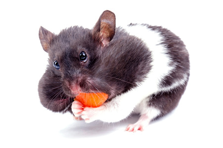 Greedy hamster Stock Photo